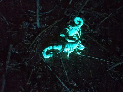 סיור עקרבים לילי בחבל מודיעין