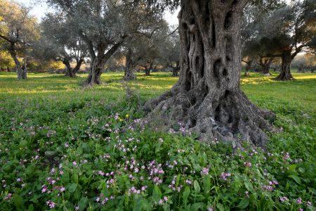 עץ השיזף בתל חדיד
