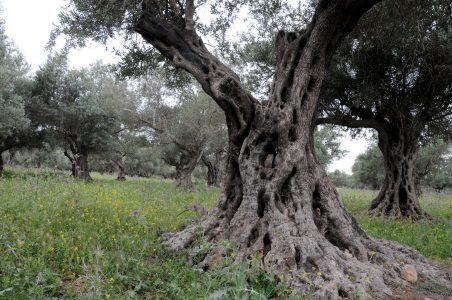 עץ שיזף עתיק בתל חדיד